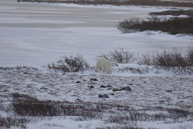 Polar bear spotting in Churchill