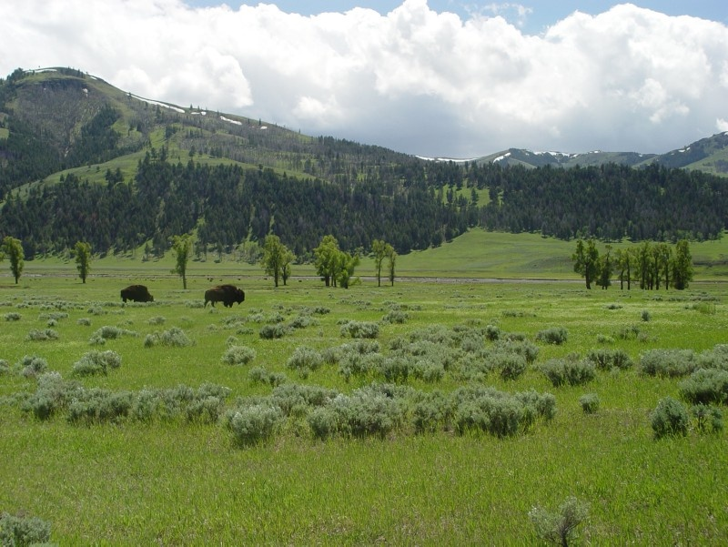 Bison in the Lamar Valley at Yellowstone National Park
