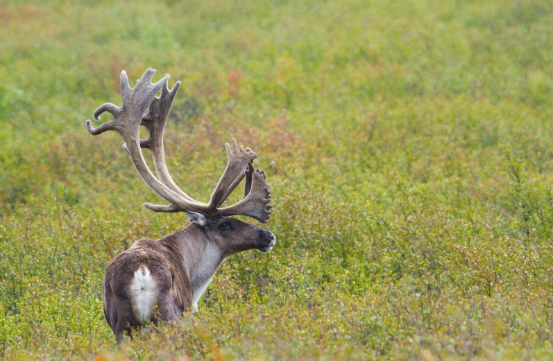 Bull caribou with antlers