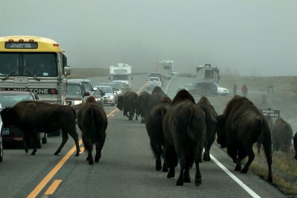 Bison Jam in Yellowstone National Park