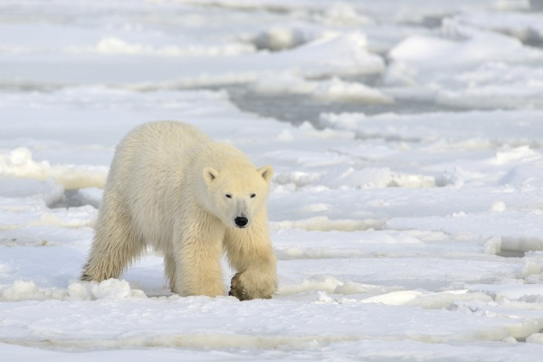 churchill-polar-bear-1