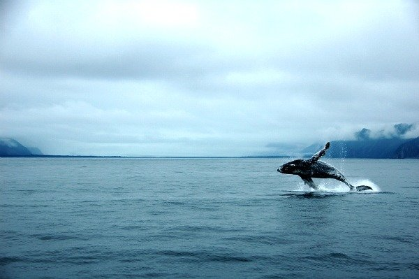 Whale watching in the Kenai Fjords
