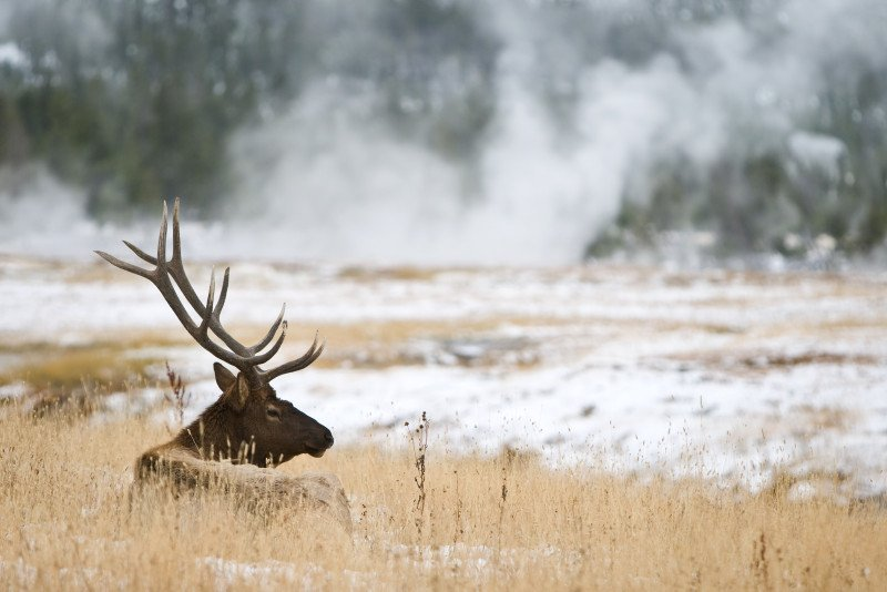 Stag in Yellowstone in winter