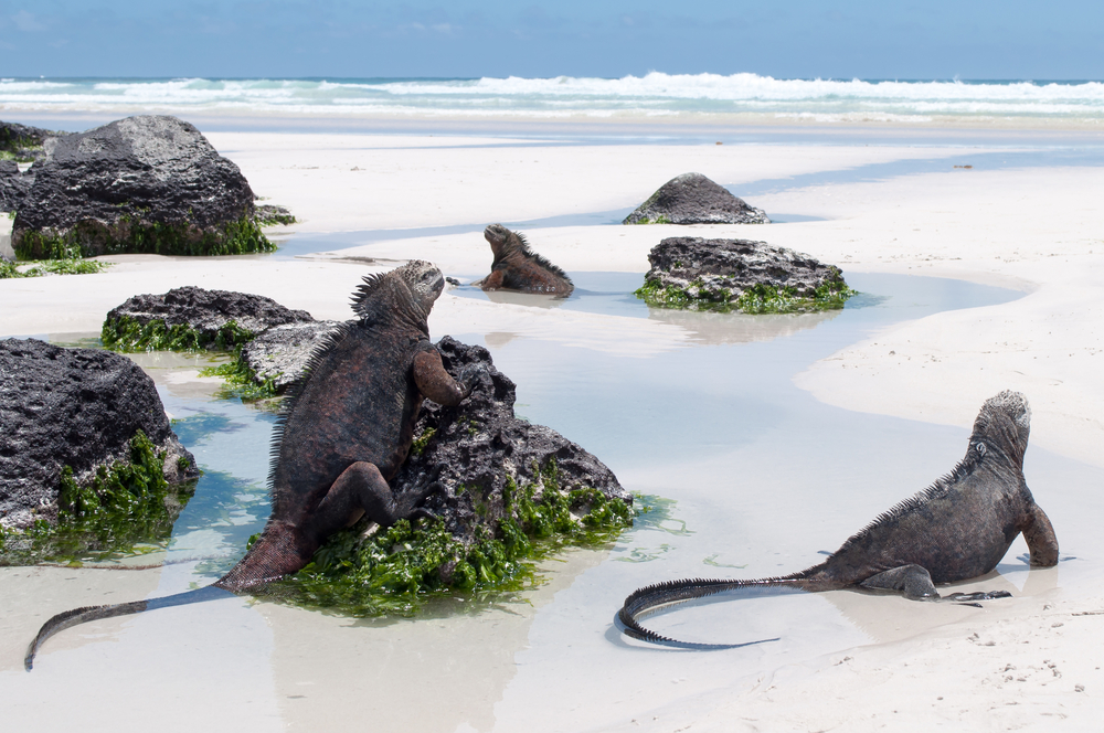 Iguanas on a beach in the Galapagos